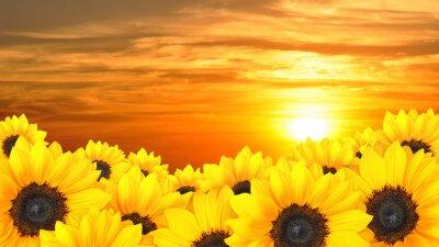 Obraz Kwiat tła żółte słoneczniki o zachodzie słońca