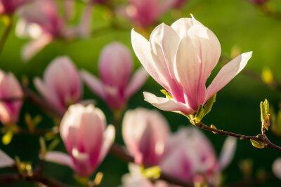 Obraz kwiaty magnolii na tle rozmazane