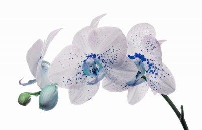 Obraz kwiaty orchidei z dużych i małych niebieskich plamek