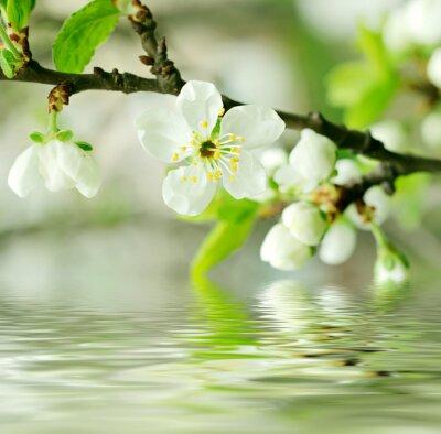 Obraz Kwiaty wiśni