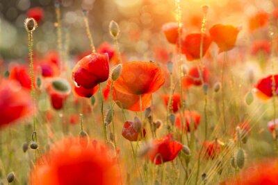 Obraz Kwitnące pola maku w świetle wieczorem z bokeh