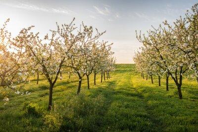 Obraz Kwitnących jabłoni ogrodzie
