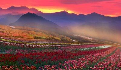 Obraz kwitnących tulipanów