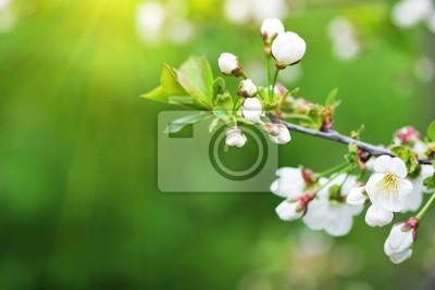 Obraz kwitnienia oddział śliwy