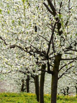 Obraz Kwitnienie drzew owocowych na wiosnę