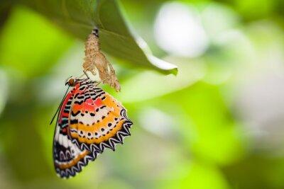 Obraz Lampart lacewing motyl wyjdzie z poczwarki