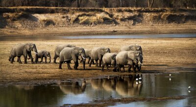 Obraz Large elephant herd crossing river in arid landscape