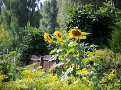 Obraz Large sunflowers in the village garden