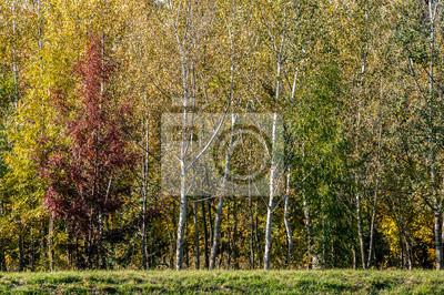 Las jesienią z czerwonych, żółtych i zielonych liści. W lesie znajduje się w mieście Szentendre, blisko Budapeszcie, stolicy Węgier