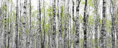 Obraz Las z pni brzozy