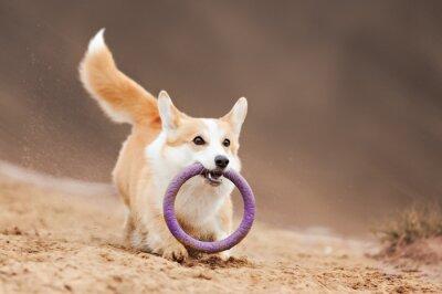 Obraz latający pies Welsh Corgi