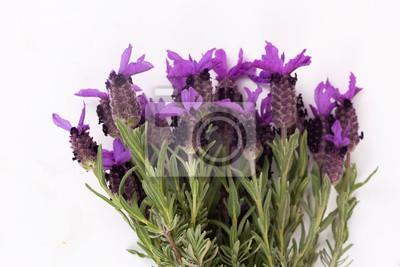 Obraz Lavandula Stoechas (French lavender; Spanish Lavender; Topped Lavender); isolated on white