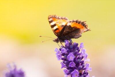 Obraz Lawendowe kwiaty z motylem