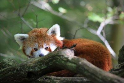 Obraz Le Roux panda
