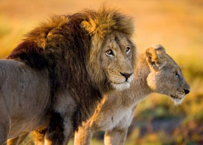 Obraz Lew i lwica na sawannie. Zambia.