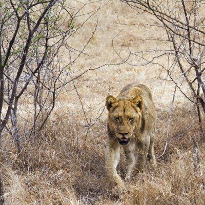 Obraz Lew w Park Narodowy Krugera