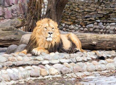 Obraz Lew w zoo