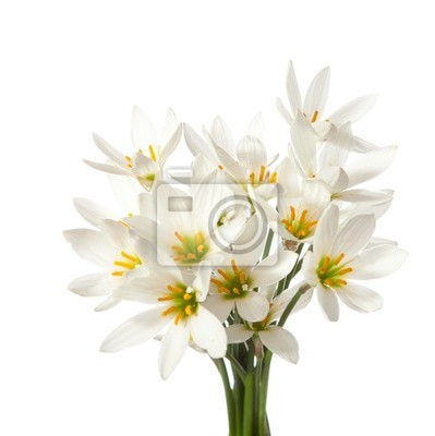 lilie na białym tle. Zephyranthes candida