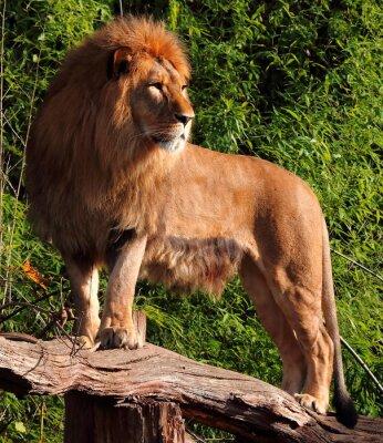 Obraz Lion na pniu drzewa spogląda w dal