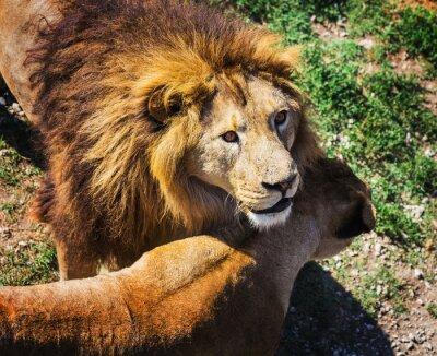 Obraz Lion Pride w przyrodzie
