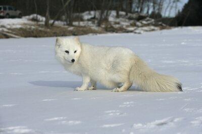 Obraz Lis polarny, Alopex lagopus