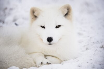 Obraz Lis polarny odpoczynku na śniegu