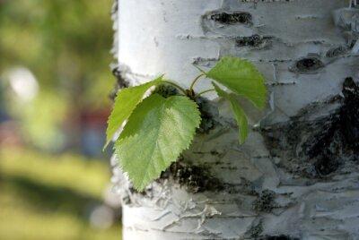 Obraz liście brzozy