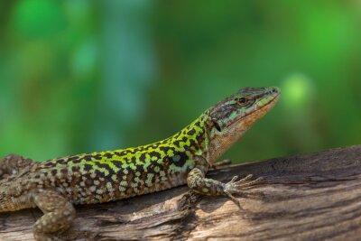 Obraz Lizard na drewnie