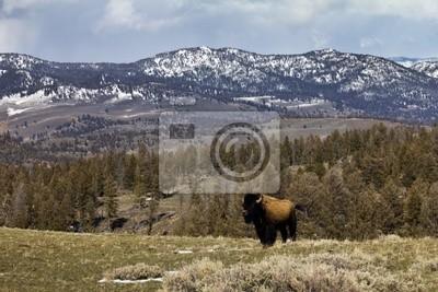Lone Bison w Yellowstone