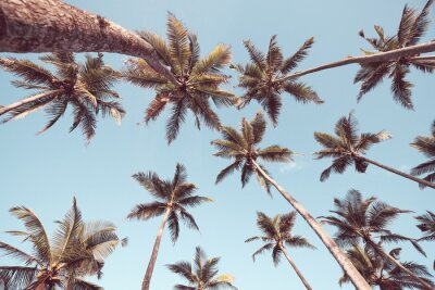 Looking up at coconut palm trees against the blue sky, color toning applied.