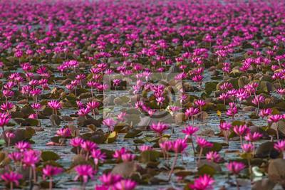 Lotus różowe kwiaty lub wody lily kwiaty kwitnące nad stawem