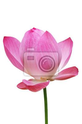 Lotus, różowy kwiat lilii wodnej (Lotos) i białe tło, Ścieżki przycinające