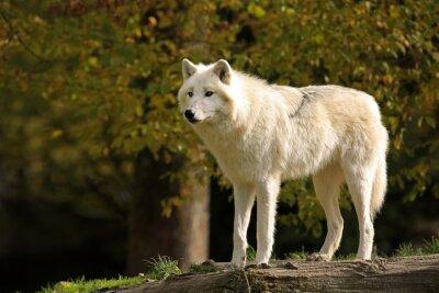 Obraz Loup Blanc