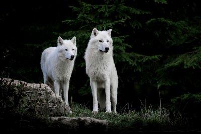 Obraz loup blanc arctique zwierząt mammifère