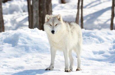 Obraz loup blanc jak lód