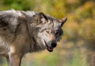 Obraz Loup en automne