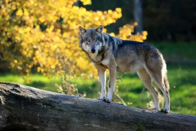 Obraz Loup gris