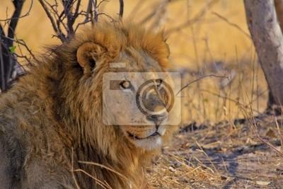 Löwe blickt in die Ferne