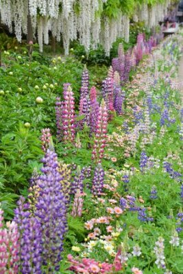 Obraz Lupinus in the garden after the rain