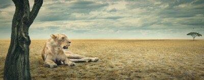 Obraz Lwica spoczynku