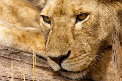 Obraz lwy