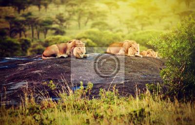 Obraz Lwy na skałach na sawanny o zachodzie słońca. Safari w Serengeti, Afryka