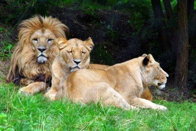 Obraz Lwy z rodzinka