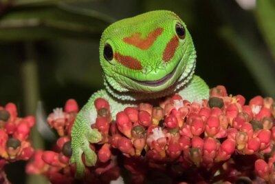 Obraz Madagaskar Gecko kurzu dzień złota