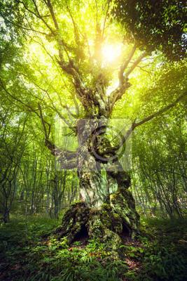 Magiczne drzewo. Piękna wiosna wschód słońca w lesie