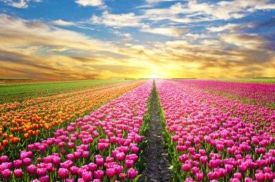 Obraz Magiczny krajobraz z zachodem słońca nad pola tulipanów w Orkady