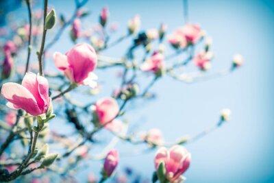 Obraz Magnolia Tulip Drzewo