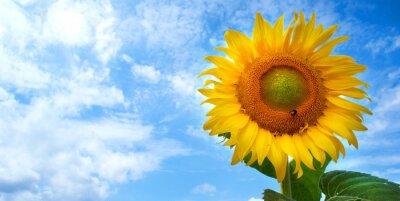 Obraz Makro kwiat słońca na tle błękitnego nieba