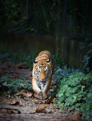 Obraz Malayan Tiger walking