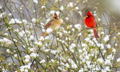 Obraz Male and female Cardinals perch in a snowy rose bush.